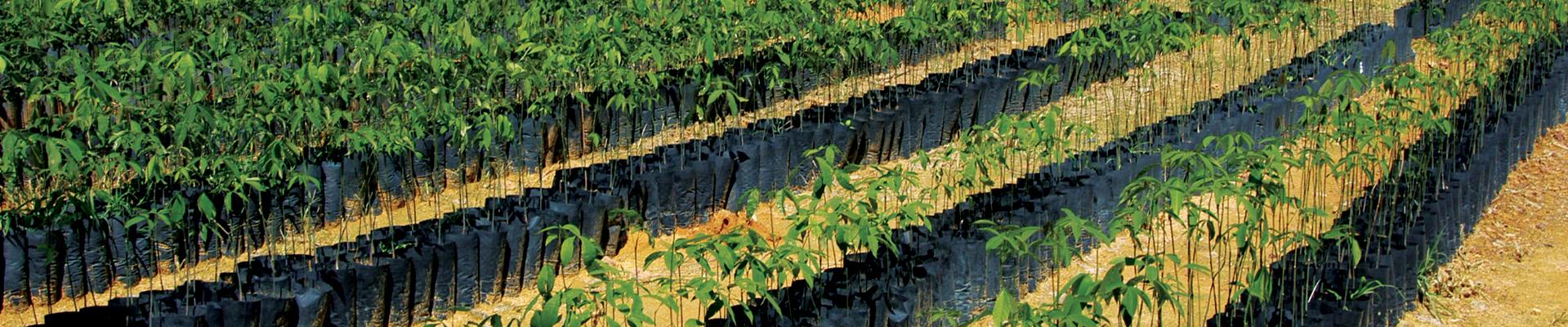 Brazilian Rubber Plantation